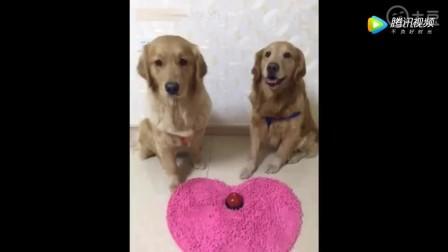女主人告诉狗狗想吃肉就按铃 把金毛老公急的: 媳妇你真的不吃吗