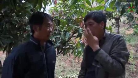 芒果角斑病等常见病害使用沃丰素、溃腐灵防治效果-云南普洱景东县