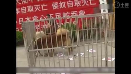 异常激烈的生死交锋,中华藏獒大战日本秋田犬