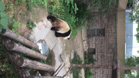 王诗文去北京动物园看大熊猫