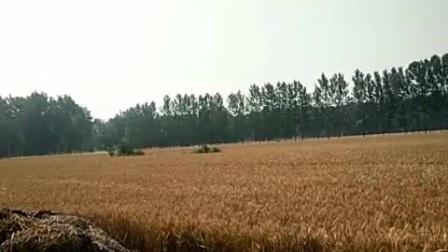 河南省郸城县收麦了