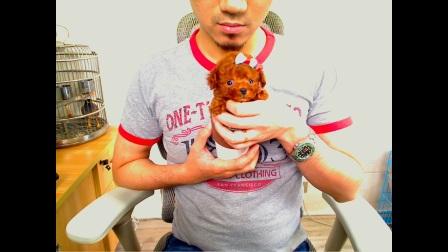 【0104妹妹-5800】限量珍藏超小体茶杯犬深红娃娃脸苹果头大眼睛泰迪