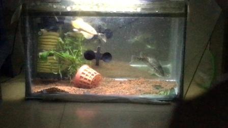 线鳢和花老虎鱼