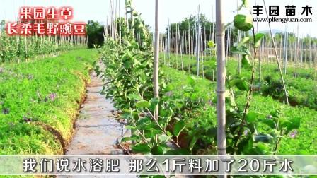 烟富10苹果树夏季肥水管理 病虫害防治