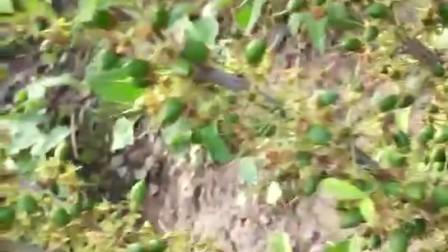 山东省华中钙果有限公司  钙果 河北种植基地