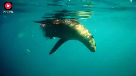 鲨鱼腰斩海狗 海狗被咬成两半还在蠕动