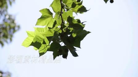 阳光透过树叶视频素材 蓝天 梧桐 纪录片 写意 唯美 阳光_0