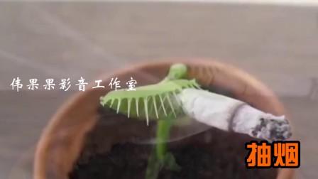 这是要成精! 什么都吃的捕蝇草!