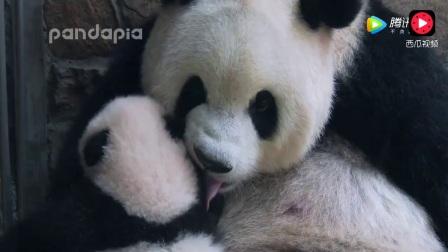 """国宝大熊猫卖萌的日常: """"""""要从熊猫宝宝抓起!"""