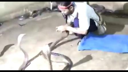 实拍牛人跟100条眼镜蛇愉快玩耍, 可是毒蛇不是这么想的!