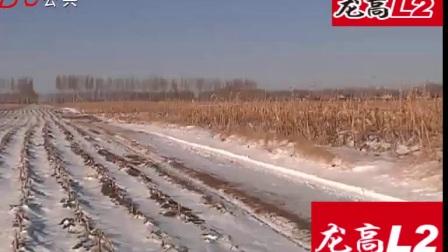 青年园艺 保收龙高L2 高产玉米种子  干旱不倒秧大棒子 好卖粮!