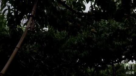 迈奇黄桃罐头:砀山黄桃种植基地