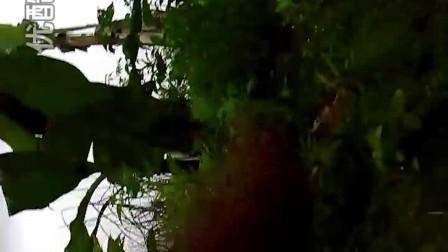 抓鹧鸪视频 抓鹧鸪 鹧鸪叫声 快乐鸟电媒(13)