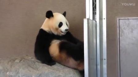 没事就咬自己脚, 原来大熊猫还有这种爱好, 太搞笑了_标清