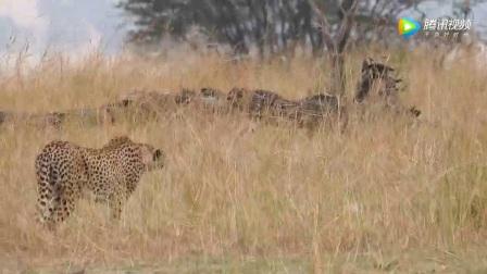 碧山 | 2017 坦桑尼亚猎豹捕食羚羊实拍