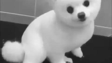 【小默短视频】萌萌的恐怖小白狗