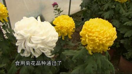 """""""白玉1号""""食用菊花"""