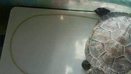 小乌龟正在晒阳阳呢