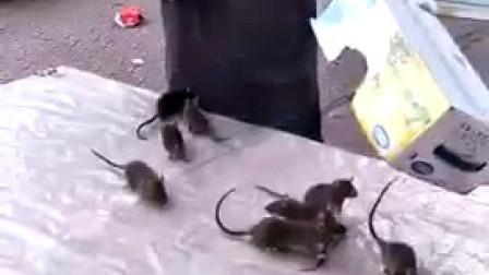 老霸道的捕鼠技术