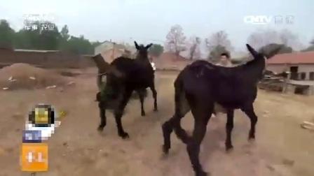 小伙给驴配种,太搞笑了!