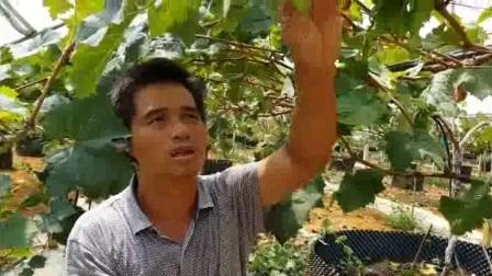 葡萄二茬果修剪技术——广西智果科技优果大师