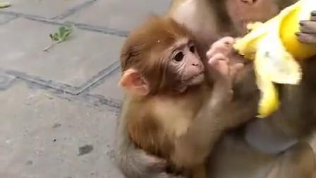 小视频  猴子吃香蕉
