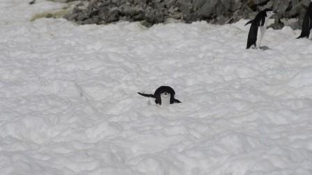 与夸克去南极:淘气的企鹅