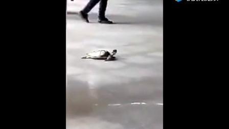 【动物念佛拜佛灵性奇闻】老龟拜佛_千年难得一见