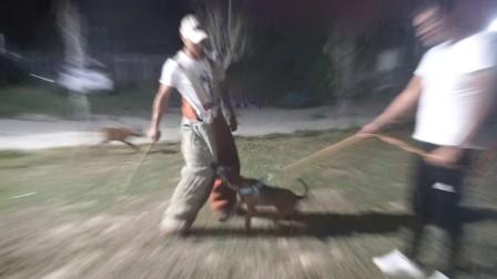 四个月小公狗,硬度测试,第一次试咬全身靶。