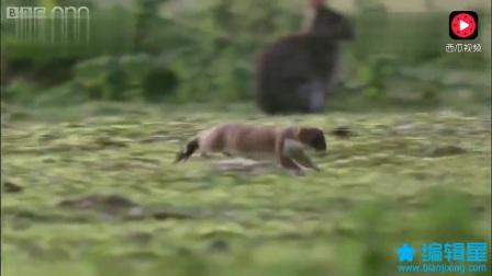 一群兔子看着同伴被貂吃掉,无动于衷