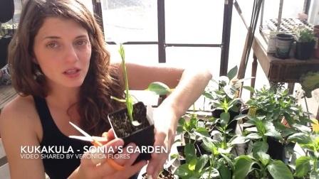 KUKAKULA 分享-盆栽辣椒的初期修剪-家庭园艺