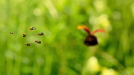 昆虫总动员 同类遭 瓢虫奋身驱赶敌人