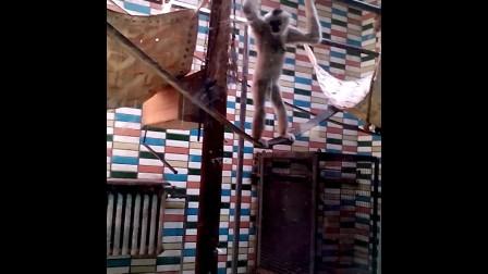 动物园里调皮的猴子