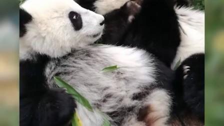 福鳳福伴 排排坐吃竹子