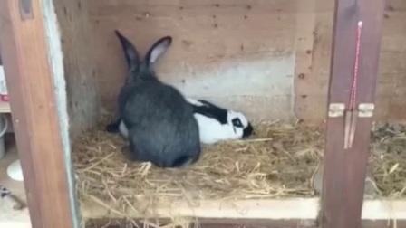 爆笑搞笑啪啪啪的兔子暴毙而亡哈哈