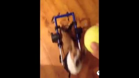 汪星人的搞笑视频大合集04动物也疯狂