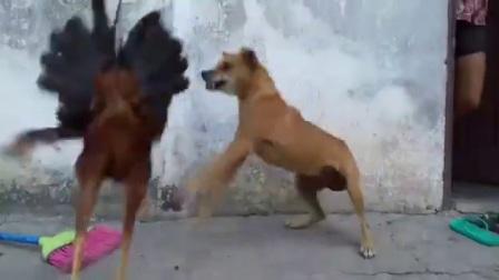 斗鸡和猛犬争霸赛