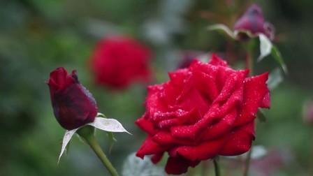 花丛百花竞艳醉人娇艳红玫瑰绽开花瓣伴随露水植物高清视频实拍素材