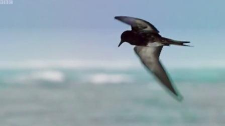 牛港鲹凶悍,海鸟都吃。GT吃鸟
