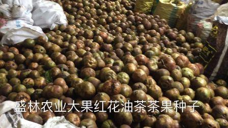 2017年大果红花油茶鲜果 红花油茶茶籽多少钱一斤 油茶种子价格 油茶果