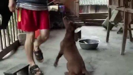 红狼犬杂交犬