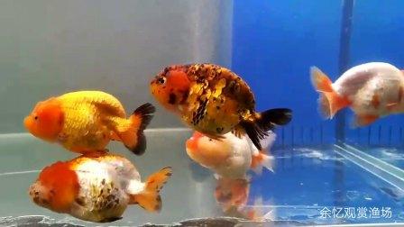 活体金鱼兰寿  寿星头观赏鱼