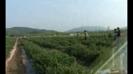 蓝莓种植技术  如何栽培种植蓝莓视频