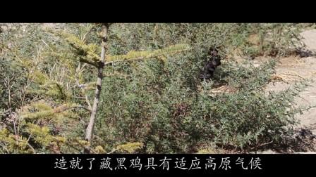 隆子县藏黑鸡宣传片v2.0