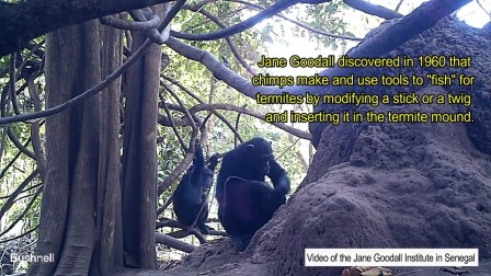 The hidden world of wild chimpanzees in Senegal