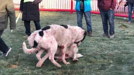 大连猛犬园武瓦特(黑白花)VS赛勒(白色)第二回合参加中亚猎狼犬锦标赛第二轮