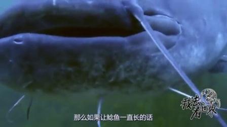 鲶鱼的成长有多疯狂;假若让它一直生长能长多大?