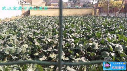 武汉洪山菜苔