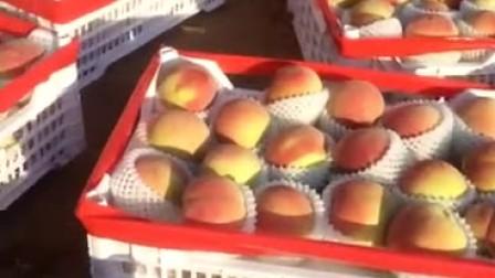 个头一斤多的中华寿桃,在藤龙山附近,喜欢吃的联系15373656559