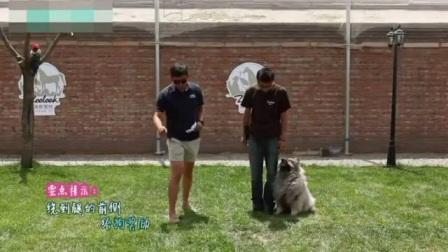 边牧成年后还能训练吗 中亚牧羊犬训练视频 比熊美容视频教程
